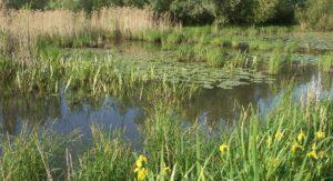 Waterplanten in de Oude Strijper Aa